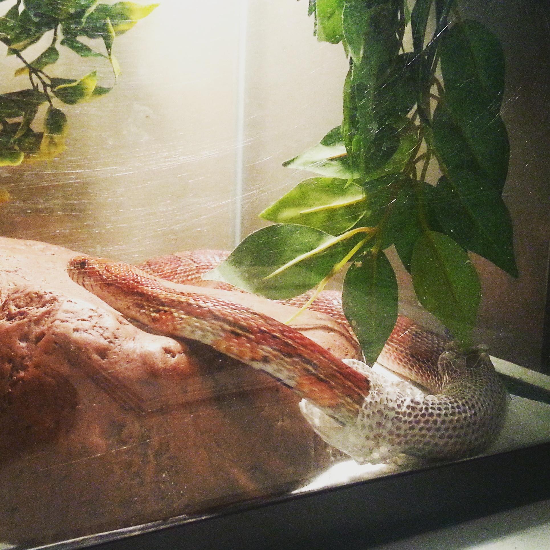 Nacho the Corn Snake