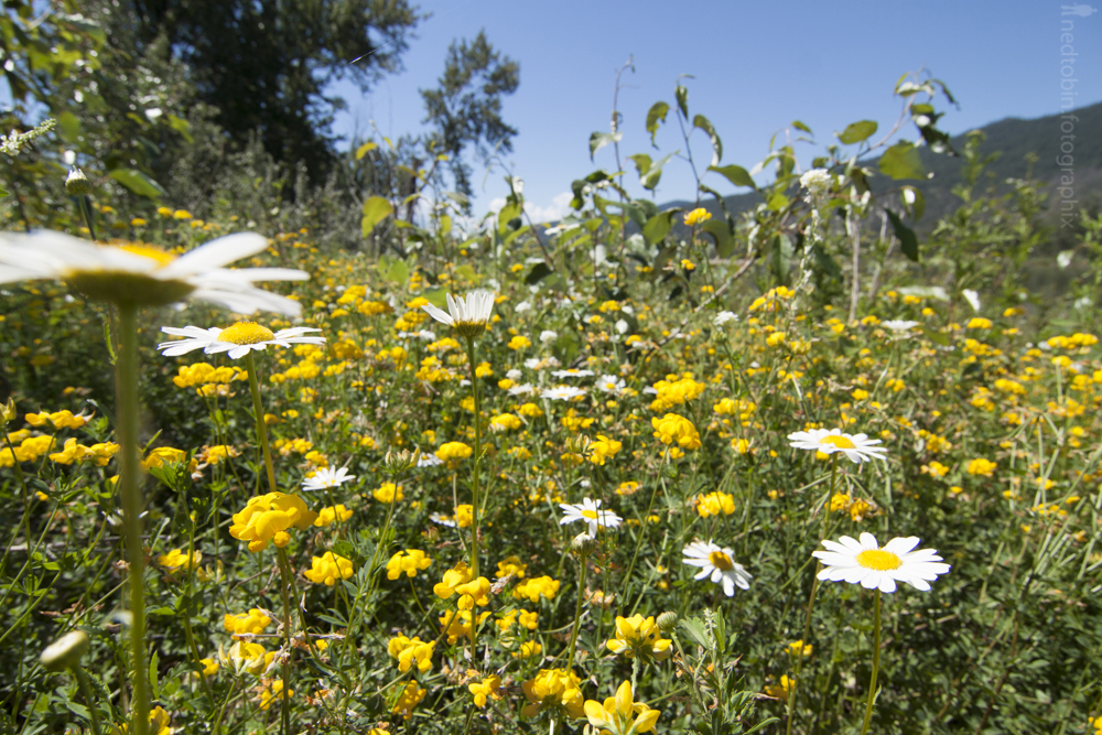 Wild flowers of the Okanagan, BC