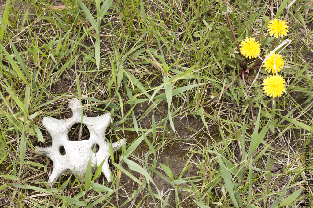 image of dirt, grass, a section of spine bone, and dandilion