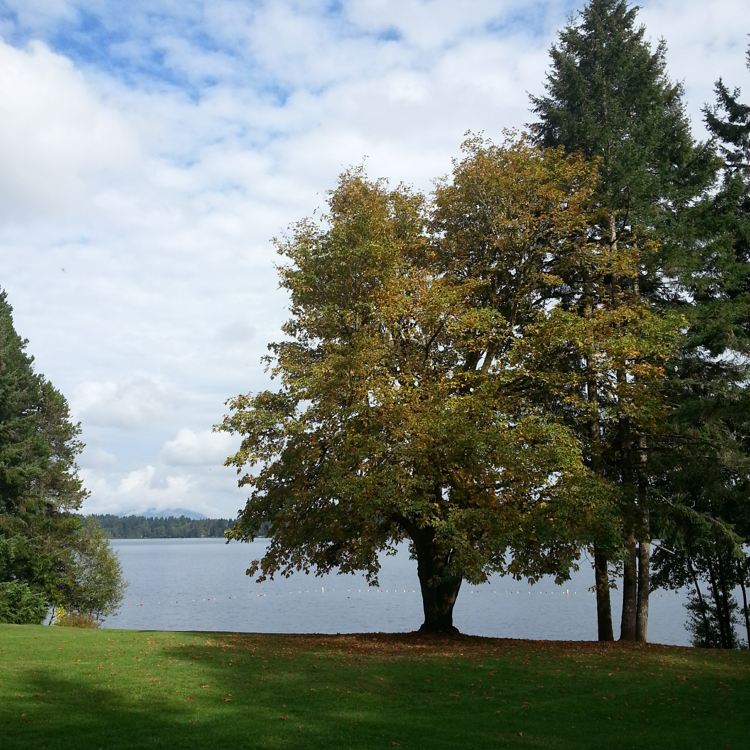 large maple tree looking out over lake