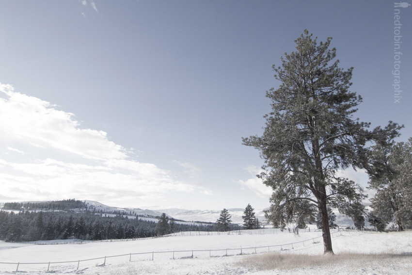 a lonely pine covered in snow
