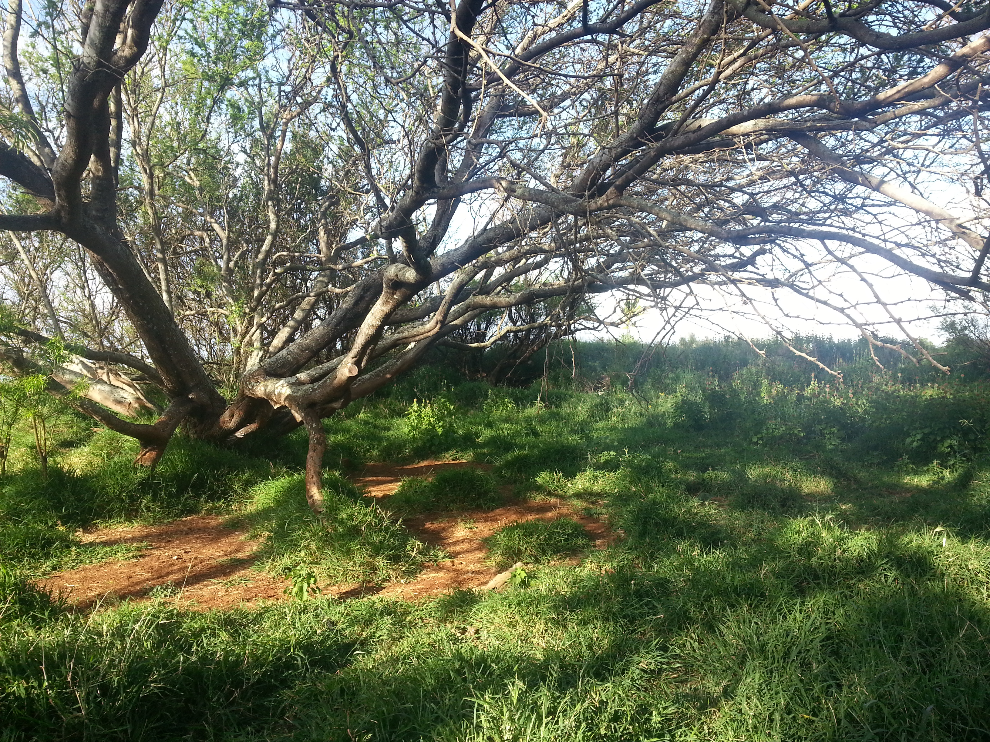 gangly tree in maui to rest under with red sand and grass
