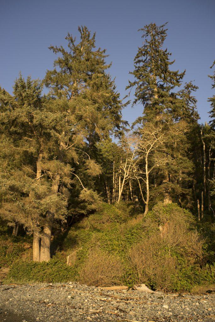 Golden trees along the PNW coastline of Vancouver Island, Canada