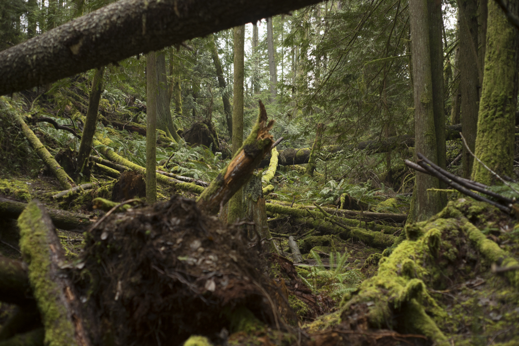 Temperate rainforest mossy with logs everywhere